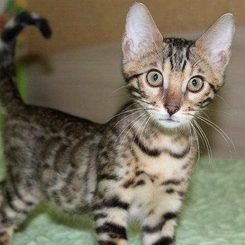 160 Alisa  purebred Bengal female kitten