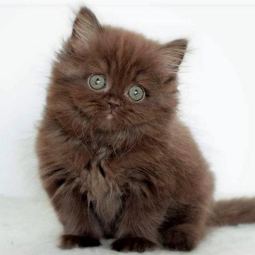460 Ceo    British shorthair male kitten