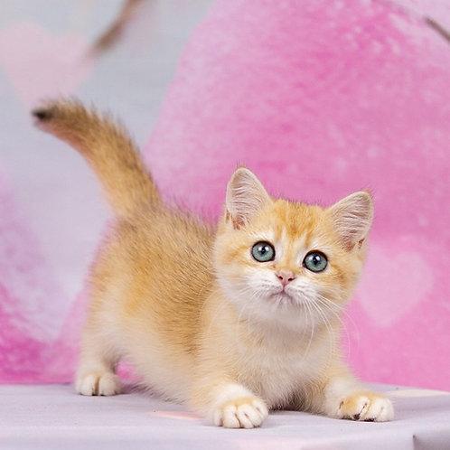 Hayley British shorthair female kitten