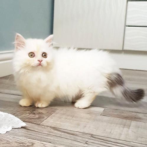 595 Elsa     Munchkin longhair female kitten