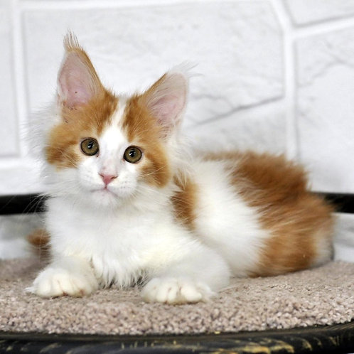 310 Fairy  Maine Coon female kitten
