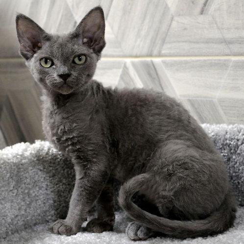 171 Tessa  female kitten Devon Rex