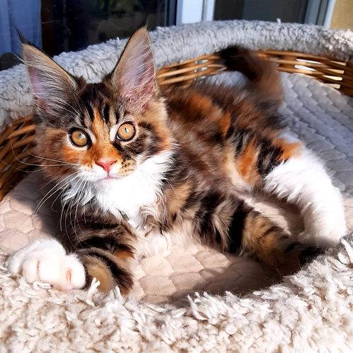 671 Vassa  Maine Coon female kitten