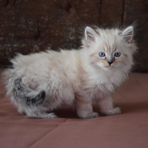 594 Dahila Siberian female kitten