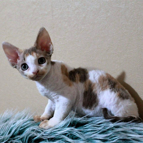 27 Barbie female kitten Devon Rex