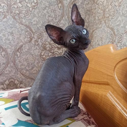 425 Jerry   male Sphinx kitten