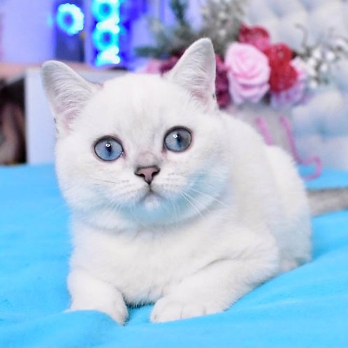 22 Zahar  British shorthair male kitten
