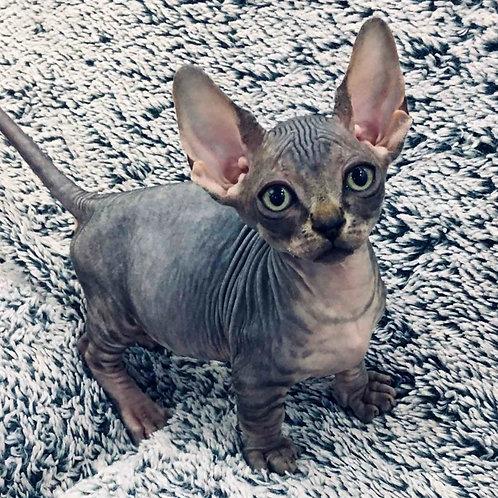 355 Tigrusha male Bambino  kitten