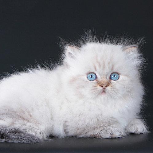 396 Dom Perignon   Munchkin longhair male kitten