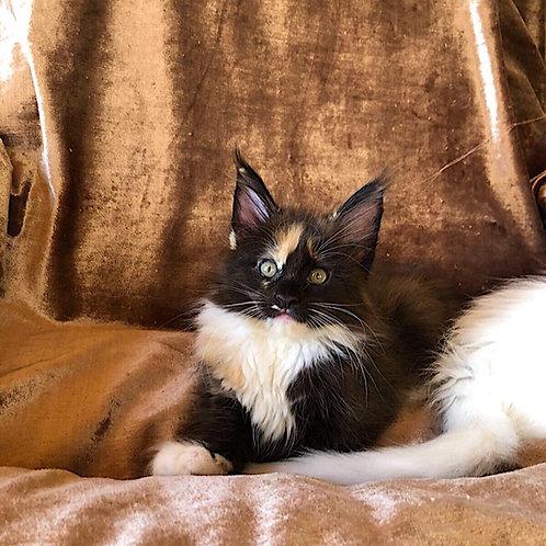 589 Cilya Maine Coon female kitten
