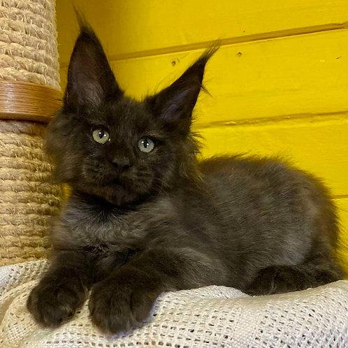 856 Teddy Maine Coon male kitten