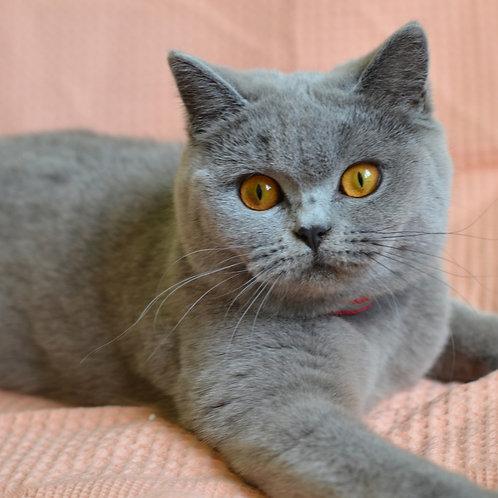 Yuzhana British shorthair female kitten