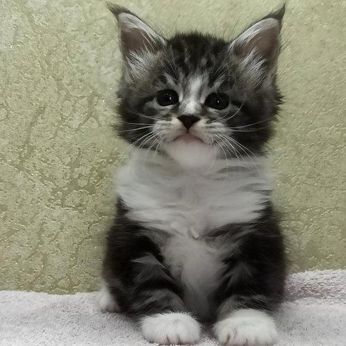 700 Arisha  Maine Coon female kitten