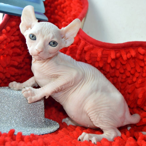 299 Lover  male Elf  kitten