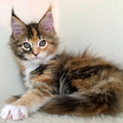 722 Alana Maine Coon female kitten