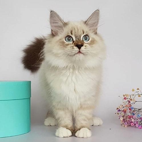 299 Levushka   Siberian male kitten