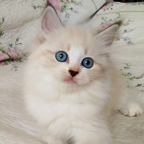 214 Eva      Siberian female kitten
