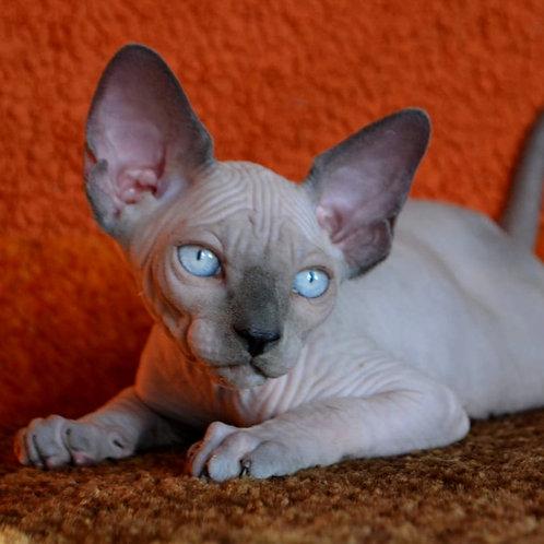 505 Steve male Sphynx  kitten