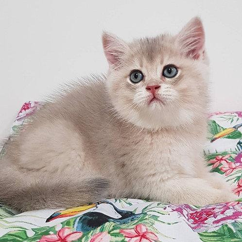 1026 Alex  British shorthair male kitten