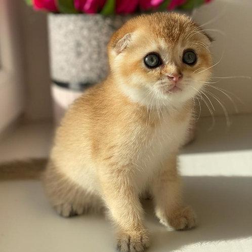 1046 Asya Scottish fold shorthair female kitten