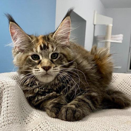 587 Bruna  Maine Coon female kitten