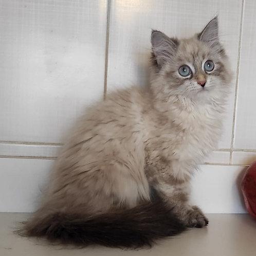 670 Saraby Siberian female kitten