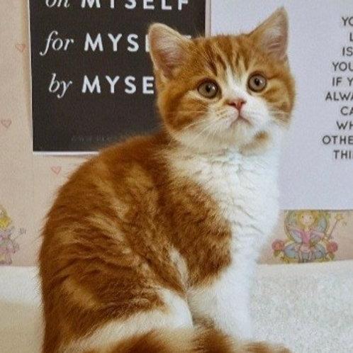 703 Boniface   Scottish straight shorthair male kitten