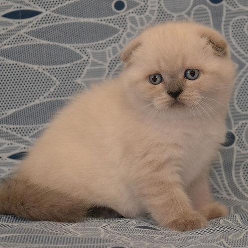 454 Melissa Scottish fold shorthair female kitten
