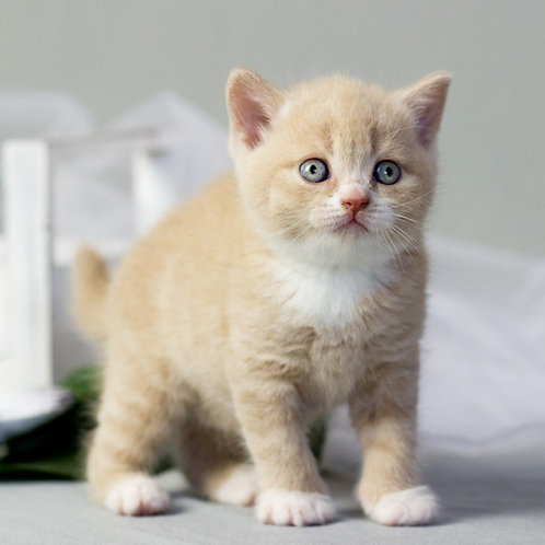 687 Dixon  British shorthair male kitten