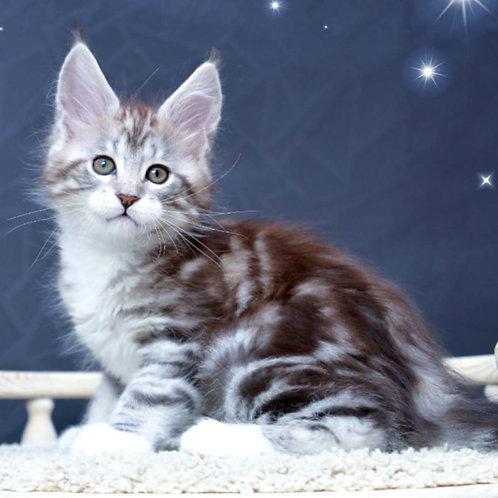 440 Vivien Leight  Maine Coon female kitten