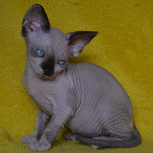 272 Dominica  female Sphinx kitten