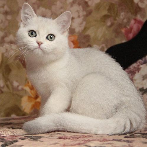 383 Milena  British shorthair female kitten