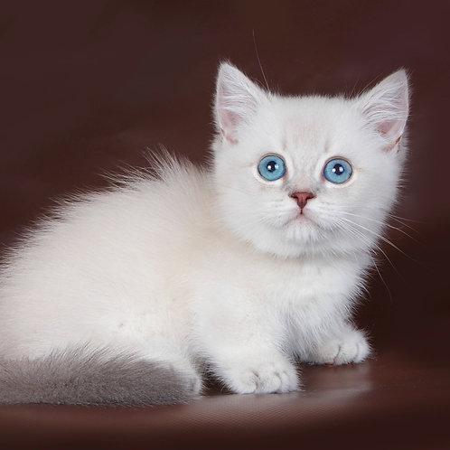 814 Thea     Munchkin shorthair female kitten