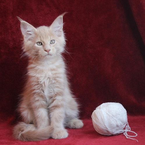Bond Maine Coon male kitten