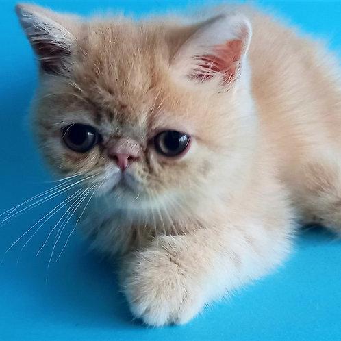 167 Tisha Exotic shorthair male kitten