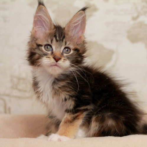 75 Icon Style    Maine Coon female kitten