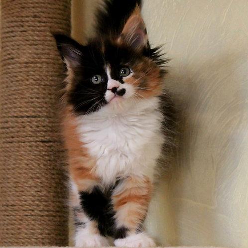 506 Eva Maine Coon female kitten