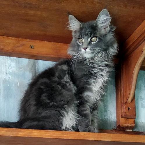 430 Almaz  Maine Coon male kitten