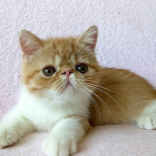 Saymon Exotic shorthair male kitten