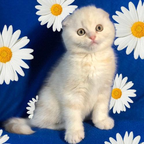 320 Churchill    Scottish fold shorthair male kitten