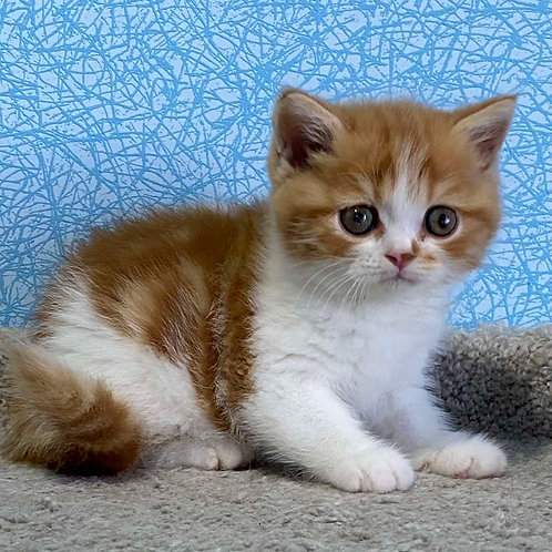 838 Velvet   Scottish straight shorthair male kitten