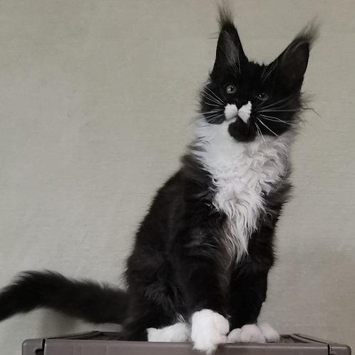 543 Z*Shamu    Maine Coon female kitten