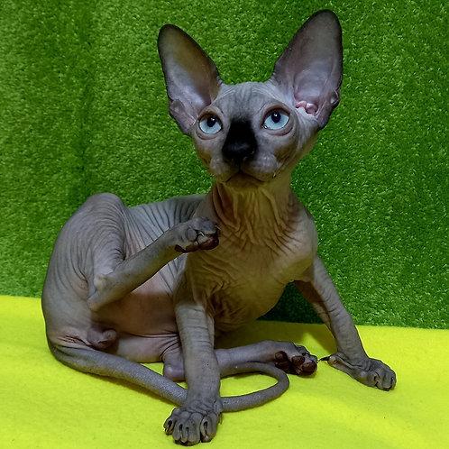 76 Fern   male Sphinx kitten