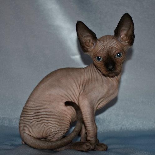 Bonni female Sphinx kitten