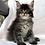 Thumbnail: 745 Indigo Maine Coon male kitten