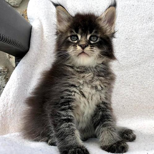 745 Indigo Maine Coon male kitten