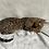 Thumbnail: 196 Nikoletta  purebred Bengal female kitten