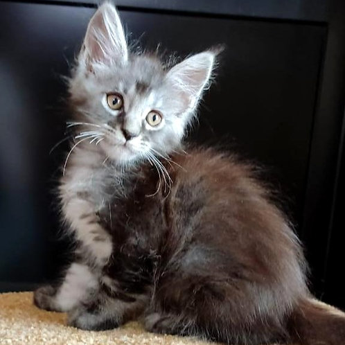 672 Bakir   Maine Coon male kitten