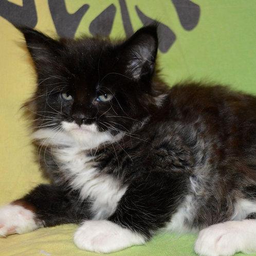 245 Bruno    Maine Coon male kitten