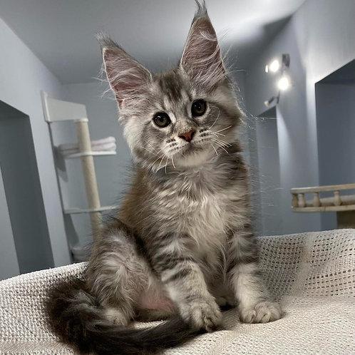 585 Bagira  Maine Coon female kitten